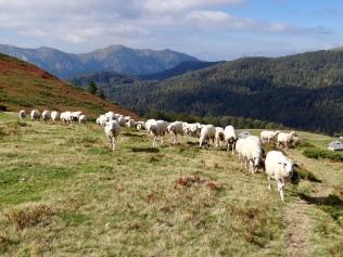 Les troupeaux de moutons du parc Biogradska Gora