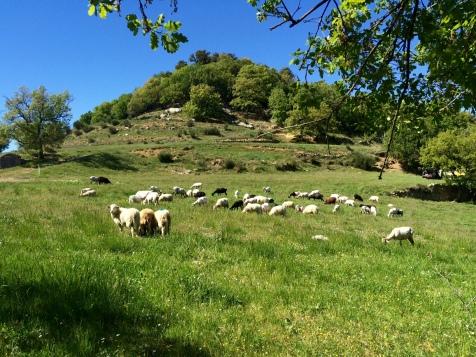 Les moutons de la ferme auberge Le Castellas