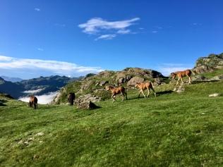 Les chevaux en liberté au col d'Ayous