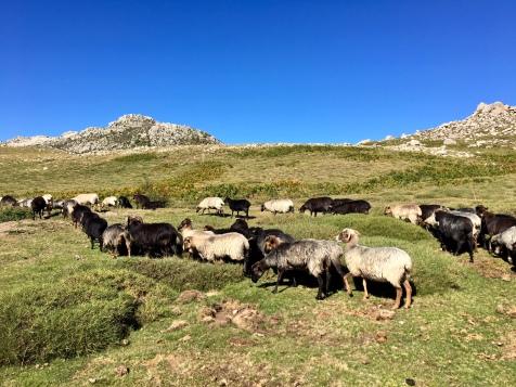 Troupeau de brebis sur le plateau du Coscione