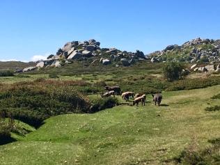 Troupeau de cochons sur le plateau du Coscione
