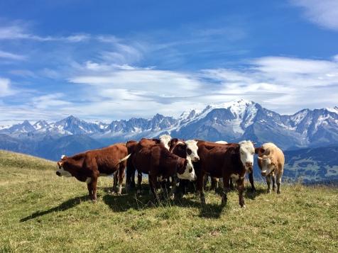 Troupeau de vaches avec vue sur le massif du Mont Blanc après la cabane du Petit Pâtre